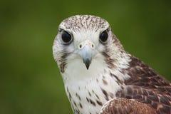 Gyr Falcon Stock Photo