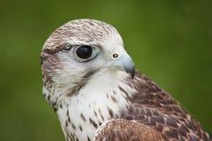Gyr Falcon Stock Photos