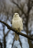 Gyr falcon ruffling his feathers in the cool air Stock Images