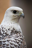 Gyr Saker Falcon Royalty Free Stock Photos