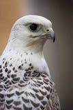 Gyr Saker Falcon Royalty Free Stock Photos