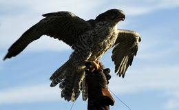 Gyr Saker Falcon On The Glove Royalty Free Stock Image