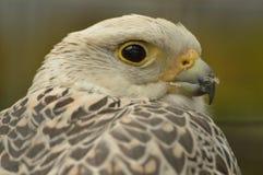 Gyr saker falcon. A portet of a gyr saker falcon Stock Photo