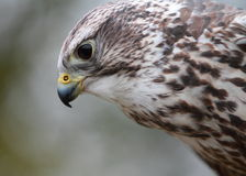 Gyr-saker falcon Stock Image