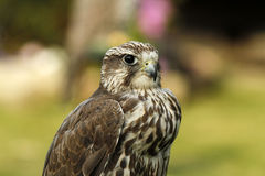 Gyr Saker Falcon Stock Photography