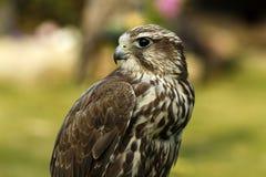 Gyr Saker Falcon Stock Images