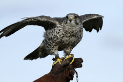 Gyr Saker Falcon Royalty Free Stock Photo