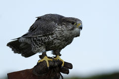 Gyr Saker Falcon Stock Photo