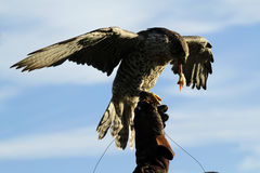 Gyr Saker Falcon Feeding on the Glove Royalty Free Stock Image