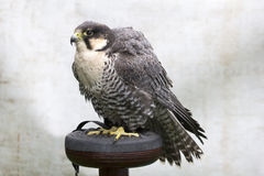 Gyr-Saker Falcon Stock Photo