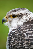 Gyrfalcon Stock Photography