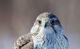 Gyrfalcon. Stock Photography