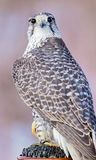Gyrfalcon. Royalty Free Stock Images