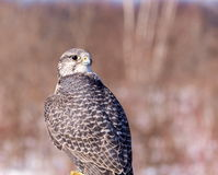 Gyrfalcon. Royalty Free Stock Photos