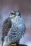 Gyrfalcon. Royalty Free Stock Image