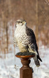 Gyrfalcon. Stock Photos