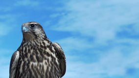 Gyrfalcon with beautiful sky. stock video footage