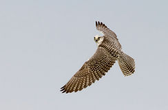 Gyrfalcon caught in flight looking at the camera Royalty Free Stock Images