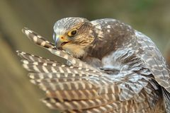Gyrfalcon Royalty Free Stock Photo