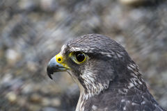 Gyrfalcon Stock Photo