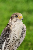 Gyrfalcon Royalty Free Stock Image