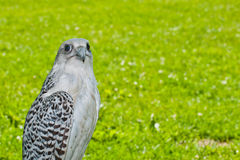 Gyrfalcon Stock Photos