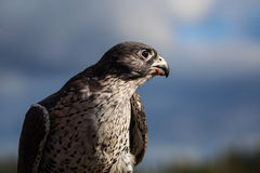 Gyrfalcon eating Stock Images