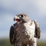 Gyrfalcon eating Stock Photography