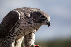 Gyrfalcon esting Royalty Free Stock Image