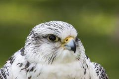 Gyrfalcon Falco Rusticolus imagenes de archivo