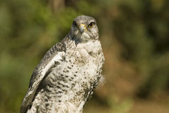 Gyrfalcon (falco rusticolus). Close up of a gyrfalcon, the largest falcon Royalty Free Stock Photos