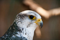 Gyrfalcon or Falco Rusticolus. Portrait with big black eye and powerful beak Stock Image
