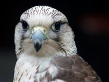 Gyrfalcon - falco rusticolus Stock Photography