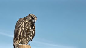 Gyrfalcon Falco Rusticolus banque de vidéos