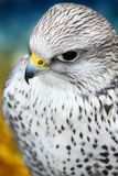 Gyrfalcon Royalty Free Stock Photography