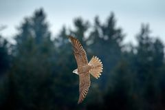 Gyrfalcon, Falco rusticolus, bird of prey fly. Flying rare bird with white head. Forest in cold winter, animal in nature habitat,. Russia. Wildlife scene form stock photos