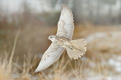 Gyrfalcon, Falco rusticolus, bird of prey fly. Flying rare bird with white head. Forest in cold winter, animal in nature habitat, royalty free stock images