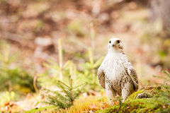 The Gyrfalcon Falco rusticolus Royalty Free Stock Photo