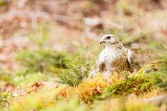The Gyrfalcon Falco rusticolus Stock Photography