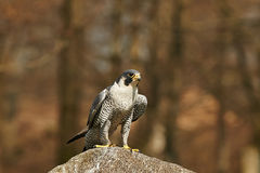 Gyrfalcon (falco rusticolus) Royalty Free Stock Images