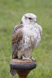 Gyrfalcon - Falco rusticolus royalty free stock image