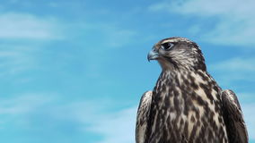 Gyrfalcon Falco Rusticolus. stock video footage
