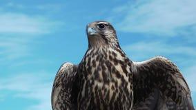 Gyrfalcon Falco Rusticolus.