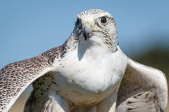 Gyrfalcon Flexing Stock Photography