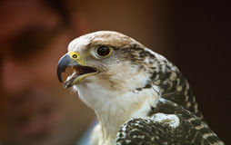 Gyrfalcon, or gerfalcon, Falco rusticolus Royalty Free Stock Image