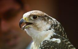 Gyrfalcon, or gerfalcon, Falco rusticolus Royalty Free Stock Image