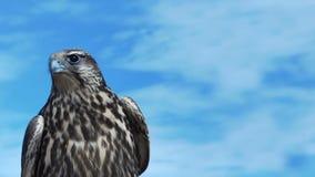 Gyrfalcon mit schönem Himmel stock video footage