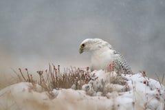 Gyrfalcon na śnieżnej zima Obraz Royalty Free