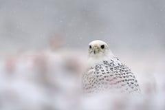 Gyrfalcon op de sneeuwwinter stock foto