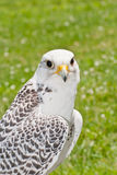 Gyrfalcon Royalty Free Stock Photos